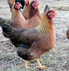partridge plymouth rock chickens - Google Search