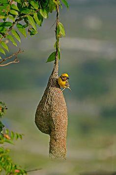 Baya Weaver, The Artist World Birds, All Birds, Beautiful Birds, Animals Beautiful, Cute Animals, Wild Animals Pictures, Nature Pictures, Weaver Bird Nest, Bird Nest Craft