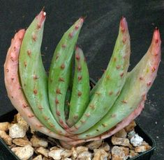 aloe like succulents | Aloe spectabilis 3-inch pot