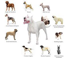 Resultados de la Búsqueda de imágenes de Google de http://dogoargentino.com.mx/img/Fotos/Dogo%2520Argentino.jpg