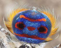 Frighteningly Beautiful Australian Peacock Spider   DeMilked