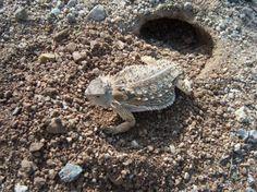 Horned lizards in the Sonoran desert