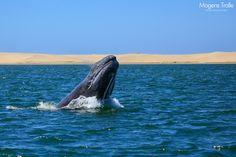A grey whale breaching.  Baja California, Mexico.