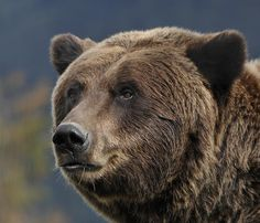 Grizzly Bear Stare by David Marr