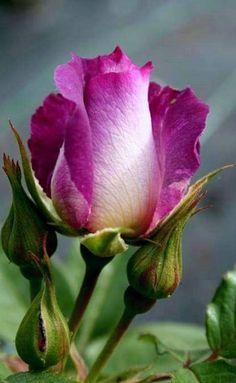 Beautiful Rose Flowers, Beautiful Gardens, Rose Pictures, Garden Decor Items, Vegetable Garden Design, Arte Floral, Blossom Flower, Rose Buds, Garden Furniture