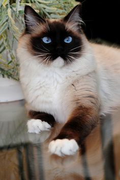 Breeders of Ragdoll Cats Pretty Cats, Beautiful Cats, Animals Beautiful, Animals And Pets, Baby Animals, Cute Animals, Cute Cats And Kittens, Kittens Cutest, Siamese Cats
