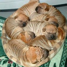 Adorable Shar-Pei need their beauty sleep. Now it's time for us to take a look at something that will make us all smile…Shar-Pei dogs sleeping in hilarious positions. Animals And Pets, Baby Animals, Funny Animals, Cute Animals, Funny Dogs, Worlds Cutest Animals, Cute Puppies, Dogs And Puppies, Shar Pei Puppies