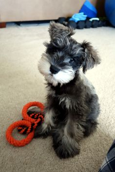 Ranked as one of the most popular dog breeds in the world, the Miniature Schnauzer is a cute little square faced furry coat. Miniature Schnauzer Black, Miniature Schnauzer Puppies, Schnauzer Puppy, Schnauzers, Standard Schnauzer, Beautiful Dogs, Animals Beautiful, Cute Puppies, Cute Dogs