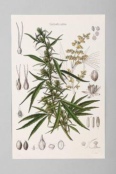 Cannabis Botanical Poster