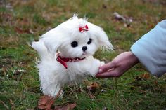 Teacup Maltese For Sale, Baby Maltese, Maltese Puppies For Sale, Pet Toys, Kids Toys, Small Dogs For Sale, Persian Kittens, Fantasy Creatures, Faux Fur