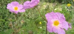 Herbalism, Health Fitness, Healing, Rose, Plants, Pepper, Tips, Vegetable Garden, Herbal Medicine