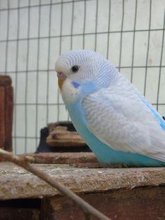 Funny Birds, Cute Birds, Pretty Birds, Beautiful Birds, Budgie Parakeet, Budgies, Animals And Pets, Cute Animals, Australian Parrots