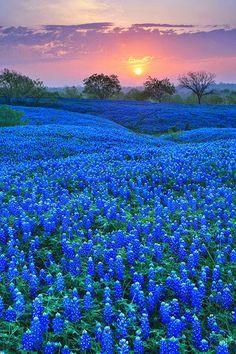 Google+Bluebonnets in Texas Field