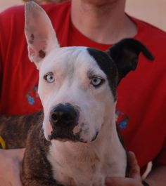 Jasmine is a young girl with crystal-blue eyes and a beautiful spirit and she debuts for adoption today at Nevada SPCA (www.nevadaspca.org).  She is 2 years of age and now spayed.  Jasmine is eager to find her place in this crazy world, and while initially shy, she warms up joyfully with people she trusts.  Jasmine was found on the Vegas streets with no sign of responsible ownership.