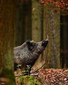 Popular Types of Hunting - HuntingTopic Wild Boar Hunting, Pig Hunting, Animals And Pets, Cute Animals, Woodland Creatures, Beautiful Creatures, Animal Photography, Pet Birds, Animal Kingdom