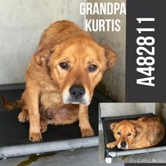 06/12/15-KURTIS ‪#‎A482811‬ (AVAILABLE 6/12) I am a male, tan German Shepherd Dog mix. I have been at the shelter since Jun 05, 2015. If I am not claimed, after my stray holding period, I may be available for adoption on Jun 12, 2015. For more information about this animal, call: San Bernardino City Animal Control at (909) 384-1304 Ask for information about animal ID number A482811 http://www.petharbor.com/pet.asp?uaid=SBCT.A482811