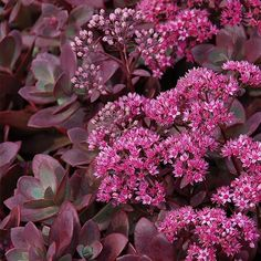 """New and improved 'Cherry Tart' with cherry-red foliage. Superior branching habit forms dense compact mounds. 5"""" pink flowers clusters bloom mid to late summer. Great all summer color. Height: 6-8 Inch"""