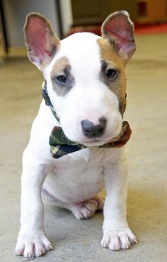 Marv the Miniature Bull Terrier....oh my god! My new favorite dog! A mini bull terrier!