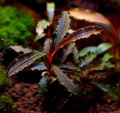 The Aquatic Plant Society – The World of Bucephalandra