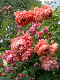 'Summer Song' | Shrub. English Rose Collection. David C. H. Austin, 2005 | Flickr - © Oliver