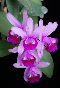 Excellent Toddler Shower Centerpiece Tips Orchid Cattleya Intermedia Orlata 'Crownfox'.