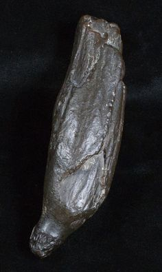 Fossil Sperm Whale Tooth - 4.9 Inches (Miocene)