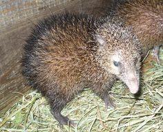 * Tenreque *   (Tenrec ecaudatus spines). Hedgehog, Animales, Strange Animals, Recipe, Kitchens, Hedgehogs, Pygmy Hedgehog