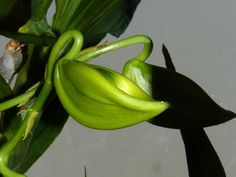 Swan Orchid | the swan orchid---Cycnoches chlorochilon orchid species
