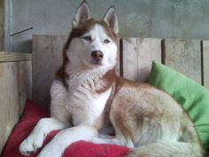 Husky Husky, Dogs, Pet Dogs, Doggies