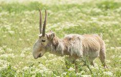 Le saïga Décrit pour la première fois en 1766 Cette antilope – saïga signifie antilope en russe – risque la disparition en raison du braconnage dont elle est victime. On retrouve ce mammifère au faciès particulier dans les steppes d'Asie centrale, soit en Mongolie, en Russie et au Kazakhstan. Son nez géant excessivement flexible est capable de se remplir d'air et de le garder au chaud durant les périodes froides. Il sert également de filtre lorsque le vent soulève les poussières du désert.