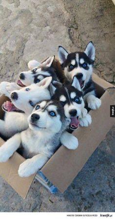 Karton Piesełów!  #piesel #husky #szczeniaczek #happy #szczescie #kwejk