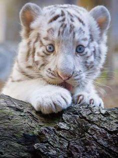 bengal tiger cubs | Bengal tiger cub has blue eyes hiding himself after a log