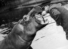 Un omaggio allinsegna del vintage per un anniversario. Larchivio Getty Images celebra la Società Zoologica di Londra, fondata nel 1826 da Sir Stamford Raffles con una serie di foto depoca del London Zoo di Regents Park, il più antico del mondo (1847)  foto Archivio Getty Images  19