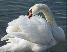 Swan Love, Beautiful Swan, Beautiful Birds, White Swan, Black Swan, White Feathers, Bird Feathers, Swans, Animals And Pets