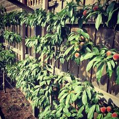 Meet Chris @earthneutral from Melbourne Australia  Another incredible entry for my 12 K Go Green Let's Make Every Day Earth Day Competition  . Love his espaliered peach tree !! The art of Espalier is the training of trees or shrubs to grow in a formal or