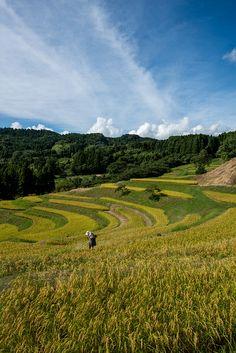 mowing rice terraces close to  harvest, Kamogawa-shi,Chiba Prefecture,Japan.