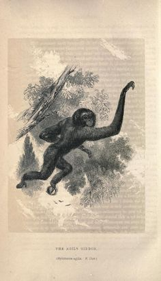 The Agile Gibbon. A general introduction to the natural history of mammiferous animals London :Wright and co., printers,1841. Biodiversitylibrary. Biodivlibrary. BHL. Biodiversity Heritage Library
