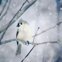 beautiful animal art - Fine Art Bird Photography Print Tufted Titmouse in Snow No 9 Pretty Birds, Love Birds, Beautiful Birds, Animals Beautiful, Cute Animals, Animals In Snow, Funny Animals, Funny Bird, Bird Wall Art