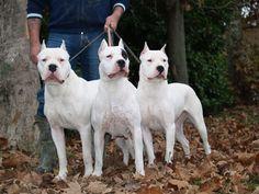 Afbeeldingsresultaat voor cane dogo argentino