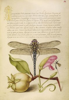 Joris Hoefnagel (illuminator) [Flemish / Hungarian, 1542 - 1600], and Georg Bocskay (scribe) [Hungarian, died 1575], Dragonfly, Pear, Carnation, and Insect, Flemish and Hungarian, 1561 - 1562