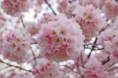 I'd like to make and take care of a garden full of beautiful flowers, plants, and shrubbery, including Japanese Cherry Blossom Trees.