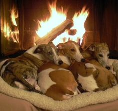 the perfect cozy evening in front of a fire with whippets!