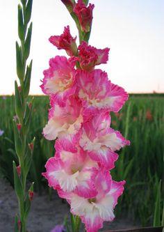 Gladiolus 'Velehrad'