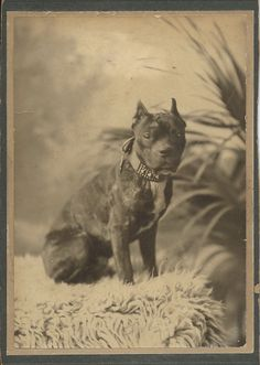 """Cabinet card of """"Toby,"""" owned by Mary. Pit bull with studded collar. From bendale collection Animals Beautiful, Cute Animals, Nanny Dog, Dog Games, Vintage Dog, Old Dogs, Pitbull Terrier, Dog Photos, Mans Best Friend"""