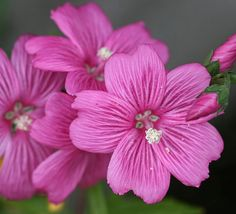 """Sidalcea calycosa ssp. rhizomata  """"Pt. Reyes Checkerbloom"""" - Totally versatile, this extremely rare California native is the perfect groundcover for moist spots."""