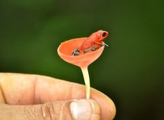 Granular Poison Dart Frog (Dendrobates granulferus) by MatthewKritzer, projectnoah: Spotted in a mushroom...Santa Lucia Falls, Costa Rica.