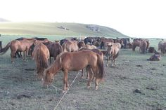 Mongolia...how to stake out horses.