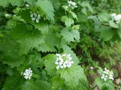 Knoblauchsrauke, Alliaria petiolata / garlicy leaves for salad - seeds - 1.50€ - saatgut vielfalt