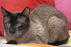 Adopta a Keko ( Siamés ) - #adopta #gatos