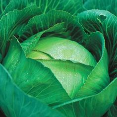 Throat maladies, losing your voice. Cabbage juice can aid in the healing of throat maladies. Gargle cabbage juice to relieve a sore throats, or drink cabbage juice mixed with honey to prevent losing your voice. Gardening For Beginners, Gardening Tips, Growing Cabbage, Growing Veggies, Fruit Garden, Grow Your Own Food, Organic Gardening, Vegetable Gardening, Cabbage Juice
